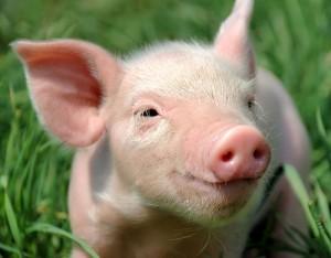 A Pig Can Text SMS API